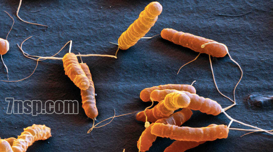 Бактерия Helicobacter pylori, вызывающая язву желудка